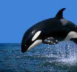 Hermosa Orca saltando