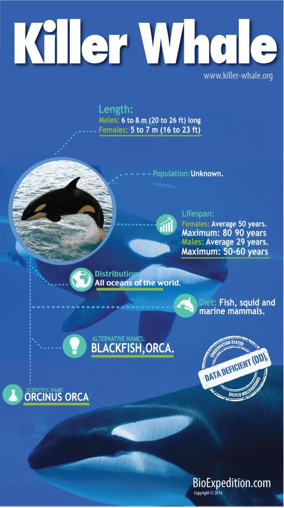 orca whale infographic