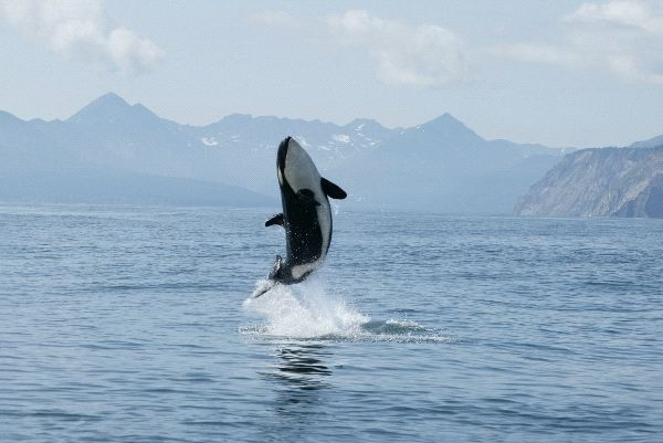 Killer Whale Calf Making High Jump Out Of The Water