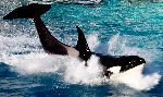 Killer Whale Completing a Jump