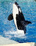 Orca durante un show acuático
