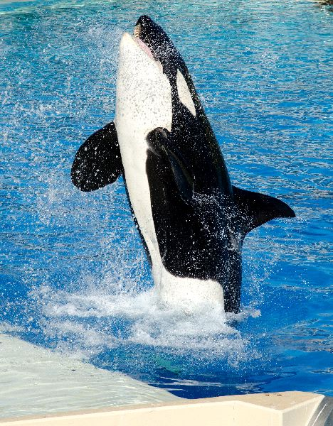 Killer Whale During A Water Show