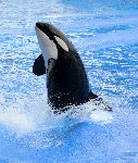 Killer Whale During a Water Park Show