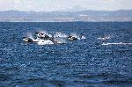 Vaina de Orcas