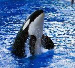 Orca oteando
