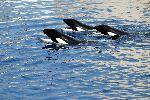 Tres Orcas en cautiverio