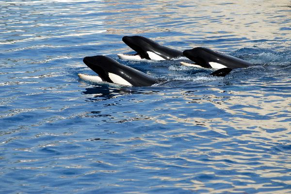Killer Whales In Captivity