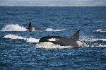 Orcas en su hábitat natural