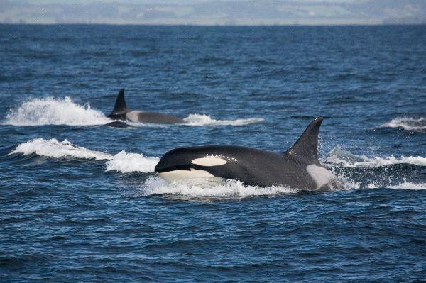 Killer Whales In Their Natural Habitat