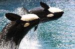 Orcas saltando coordinadamente