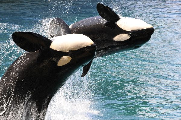 Killer Whales Jumping Coordinately