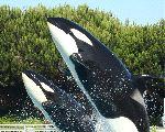 Madre y cría de Orca saltando juntos