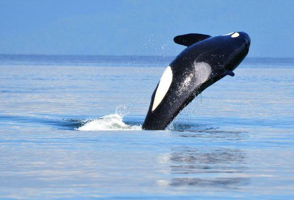 Orca Near Vancouver Canada - Orcinus Orca