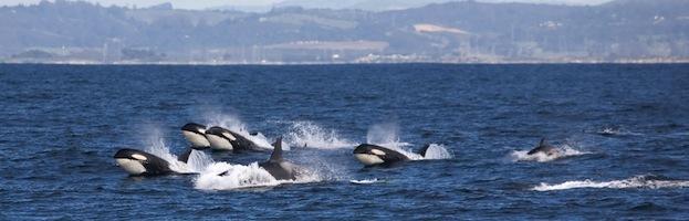 Sentidos de las Orcas