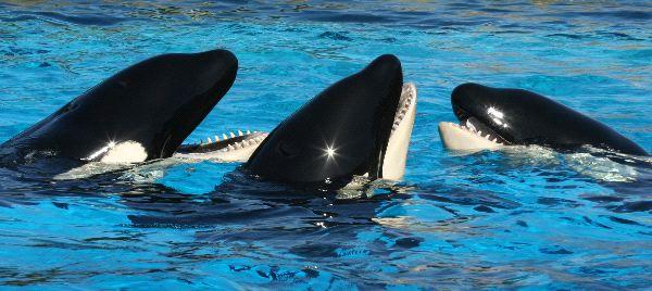 Trio Of Oceanarium Killer Whales