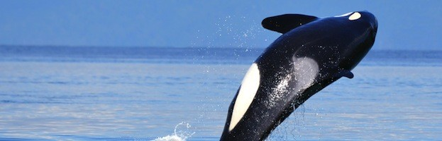 Killer Whales in Culture
