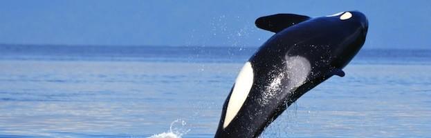 Orcas en la Cultura Humana