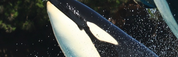 Inteligencia de las Orcas