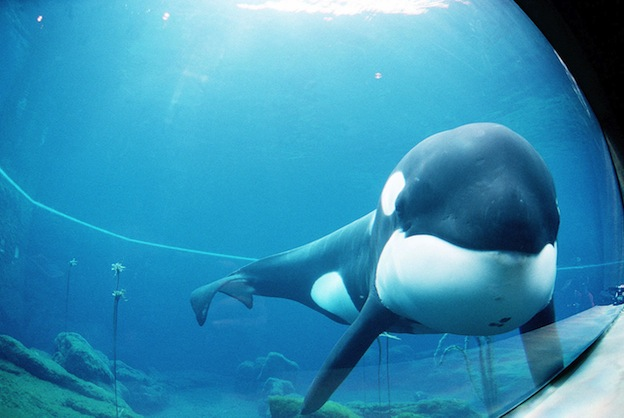 Killer Whale in the human culture