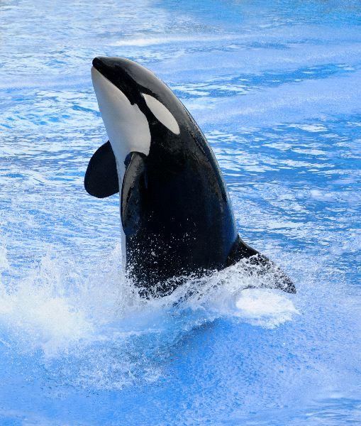 orca_durante_una_presentacion
