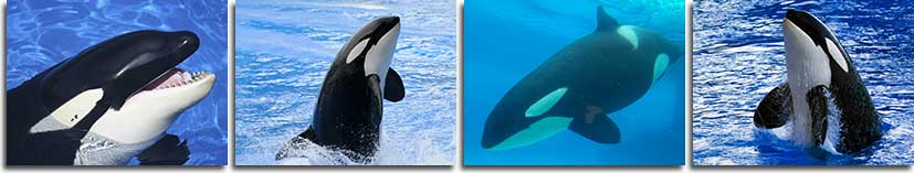 Killer Whale Facts And Information Orcinus Orca