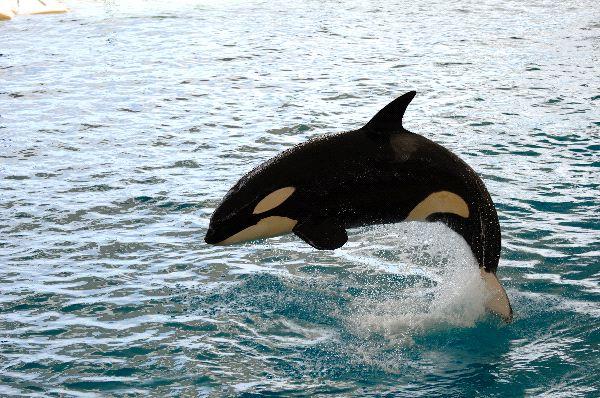 orca_saltando