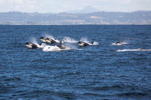 vaina_de_orcas